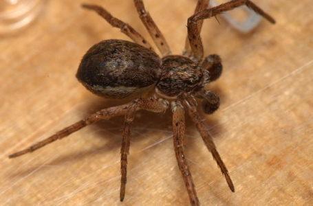 Пауки-филодромиды научились связывать самок перед спариванием